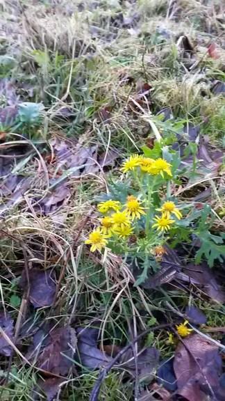Ragwort (Jacobaea vulgaris) on Skylarks Nature Reserve. Favoured food plant of the cinnabar moth larvae!