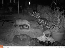 Boris the badger eating peanuts that Mum left out, with the muntjac deer in the background.