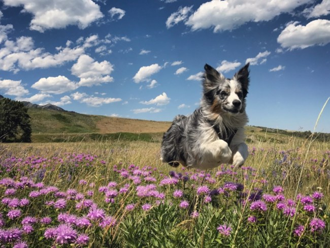 Roo leaping through the wildflowers in Waterton Lakes National Park