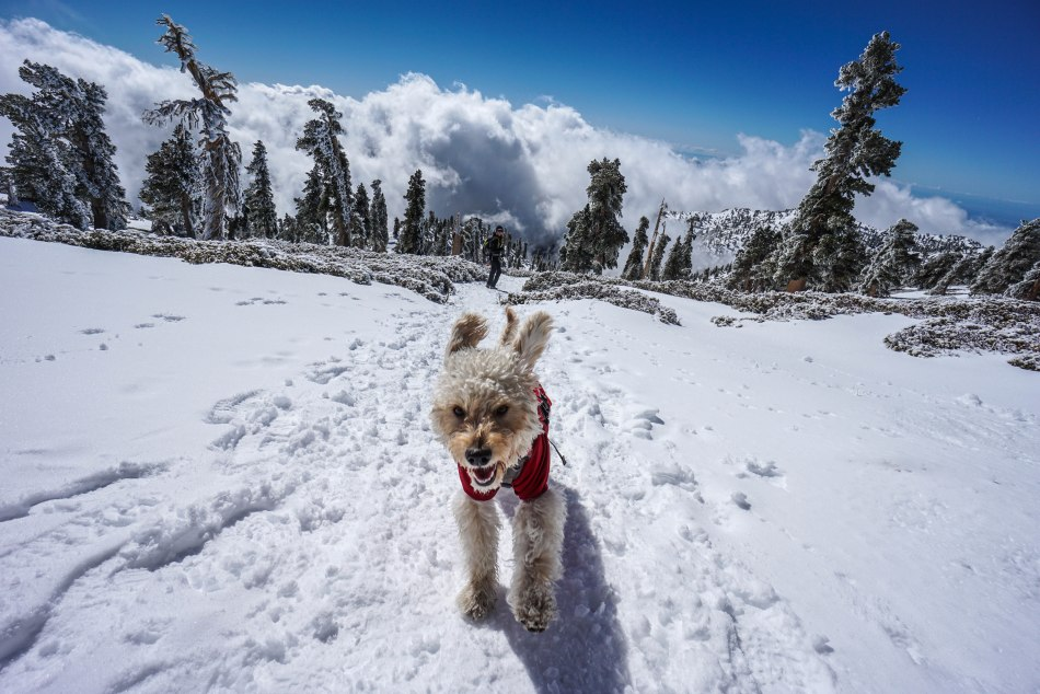 Mt. Baldy Snow Summit with dogs