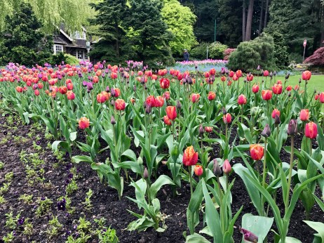 A tulip bed in Stanley Park.