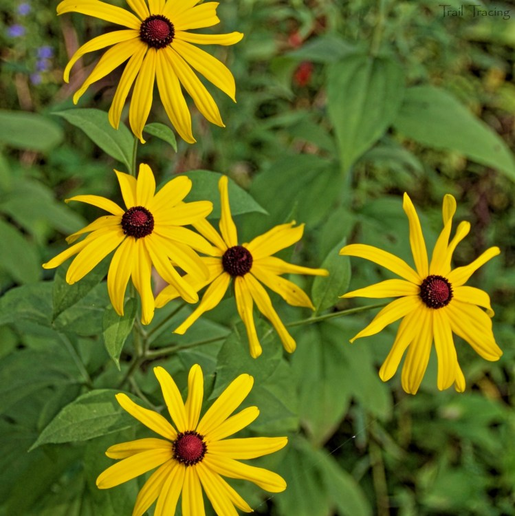 Somme Woods Black-Eyed Susans