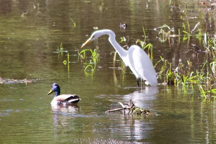 Potawatomi Woods - Great Egret and Mallard