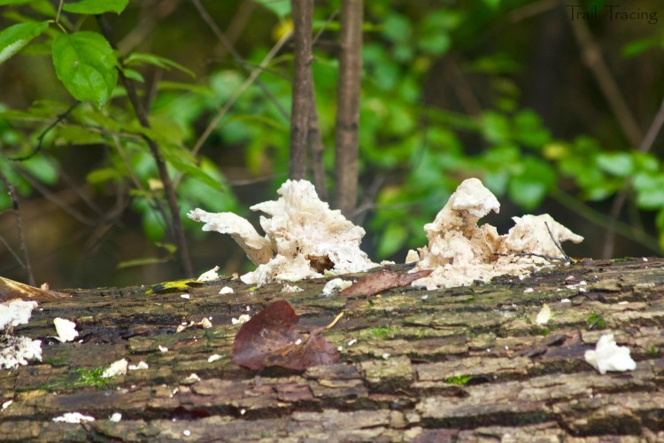 Elvis Fungus 1