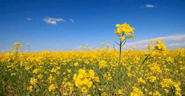 how canola oil is made