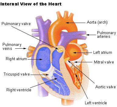 heart - El Corazón Humano Anatomía, Función