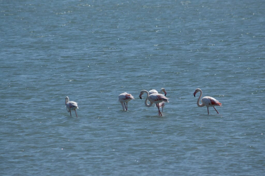 Flamingos on the drive to Diaz Point