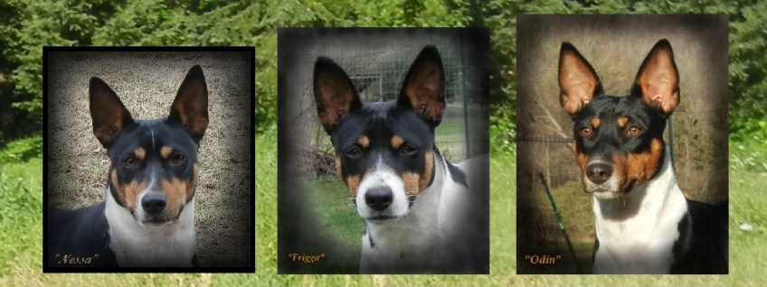 Clan Clarks Lady Vanessa, Lady Frigga and Sir Odin. Decker Rat Terriers