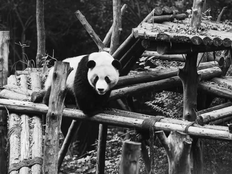 panda dans la réserve de Chengdu en Chine