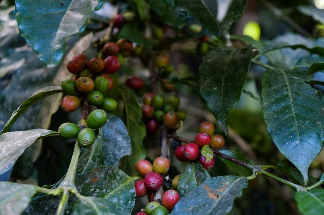 café munaipata bolivie