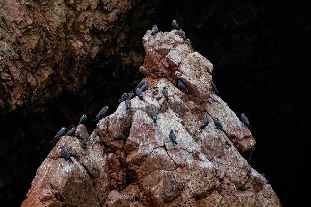 paracas oiseaux pérou