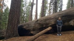 San Francisco, California, Yosemite, Yosemite National Park, sequoia, tree, big, powerful, compare. old,