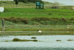 This must be Sacred Ibis ! Yey!