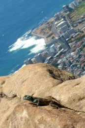 lizard on the rock with a view of cape town, south africa