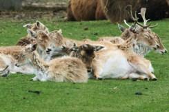 Antelopes taking a nap