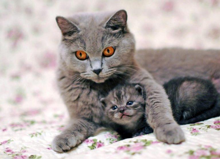 Сколько котят и как долго их вынашивает кошка. Важные вопросы для заводчика: сколько кошка рожает в первый раз и потом, что влияет на количество