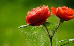 Beautiful-Rose-Flower-Wallpaper-Free