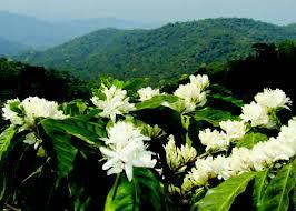 Một truyện trước 1975: Khi mùa hoa cà phê nở