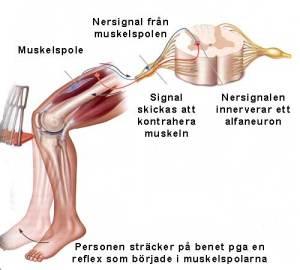 En illustration över sträckreflexen i musklerna i framsida lår