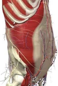 Abdominis transversus går runt hela bålen som ett bälte