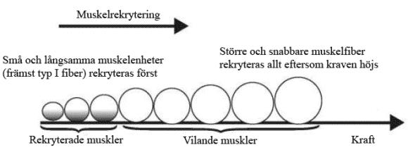 Illustration som visar hur större och större muskelfiber aktiveras allt eftersom motståndet ökar