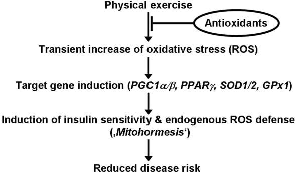 Här kan du se en schematisk bild för hur träning påverkar vårt antioxidativa skydd samt hur man genom höga doser av antioxidanter - C-vitamin och E-vitamin i det här fallet - riskerar att hämma den effekten (4).