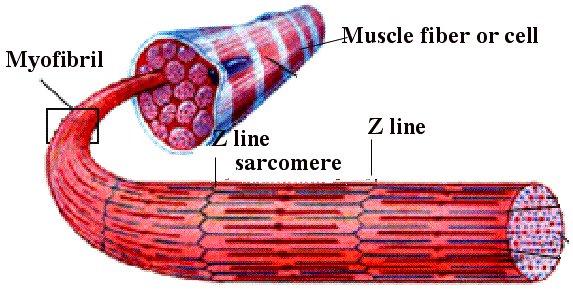 En muskelfiber är uppdelad i flera sarkomerer
