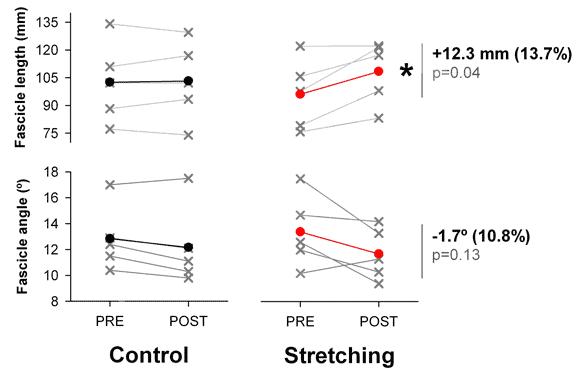Längre muskler av stretching