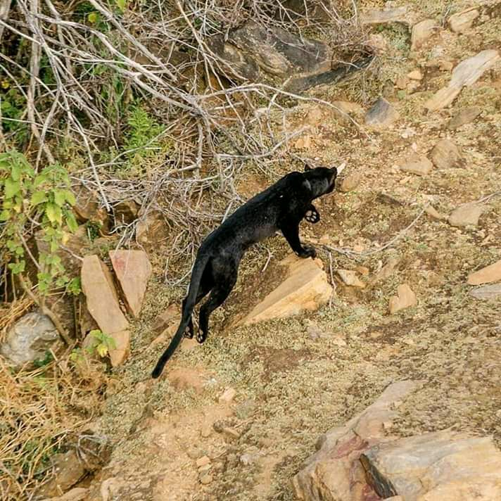 64218310e1494d Black Leopard Spotted in Kenya for the first time in more than a ...