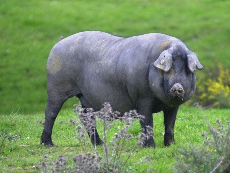 Cerdo-Ibérico.
