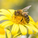 TC241: Why are the Bees Disappearing?