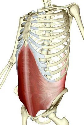 muscle transverse muscle profond des abdominaux