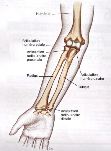 os de l'avant-bras