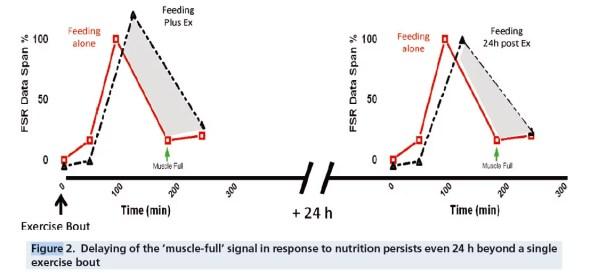 muscle full effect et fenetre anabolique