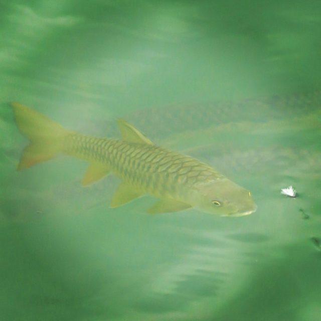 Dry Fly Fishing Mahseer