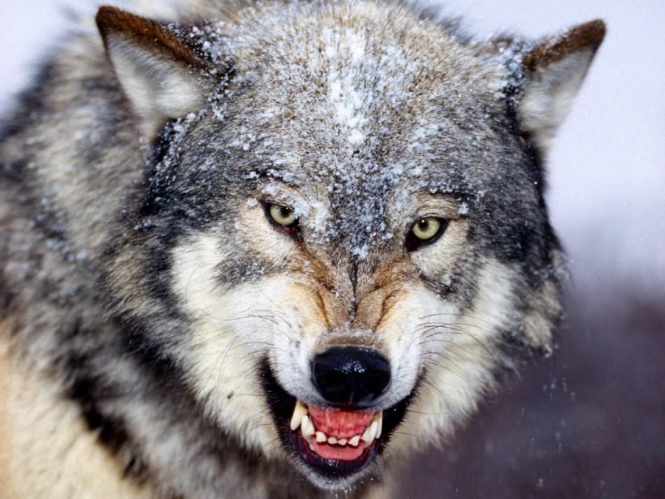 2855-wolf-animal-hd-wallpaper