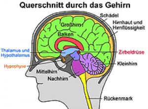 Querschnitt durch Hirn
