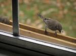 Bird, Finch, at bird feeder outside window