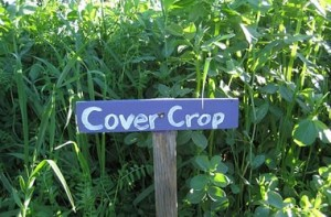 cover crops 3