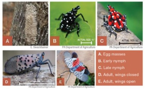 five stages of Spotted lanternfly