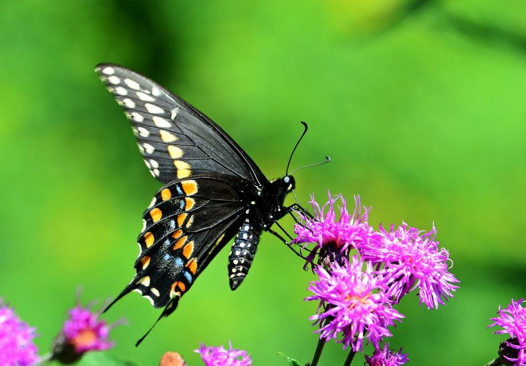 black , orange, blue and white black swallowtail butterfly on pink flower