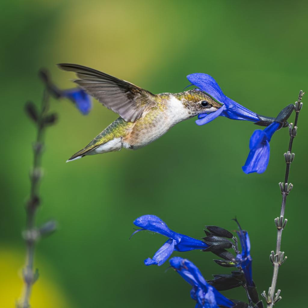 hummingbird sipping nectar from black and blue Salvia (Salvia guarantica)