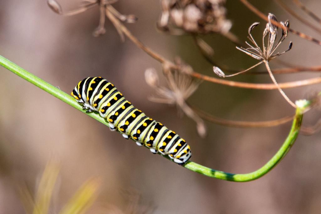 green, black and yellow Monarch caterpillar on green stem