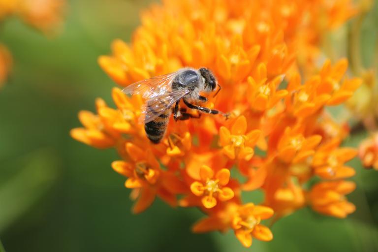 honey bee on orange butterfly weed flower