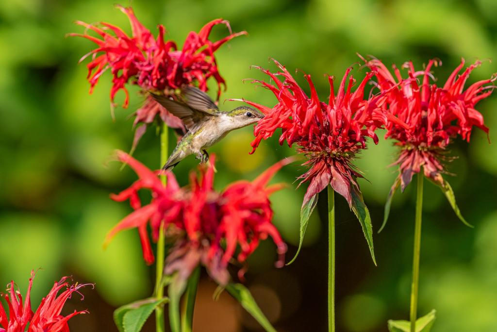 hummingbird sippingnectar from red bee balm flower