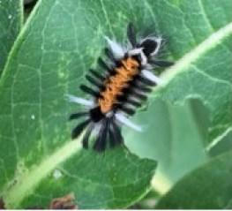 black orange and white milkweed tussock moth larva on green leaf