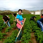 Mongolian farm workers.