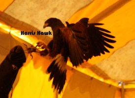 HarrisHawkinFlight