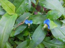 Asiatic Dayflower (Commelina communis)
