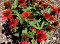 'Sombrero® Salsa Red' (Echinacea purpurea' Sombrero Salsa Red')